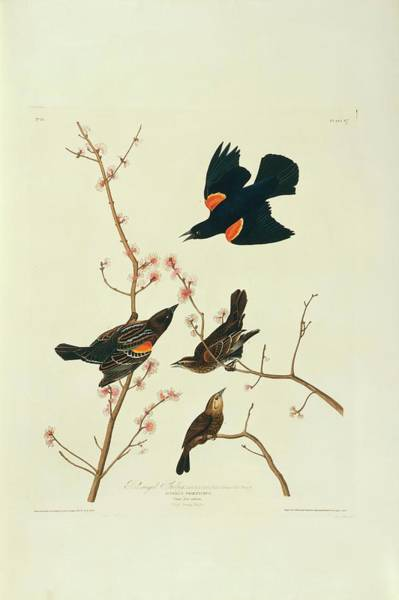 Red-winged Blackbird Wall Art - Photograph - Red-winged Blackbird by Natural History Museum, London/science Photo Library