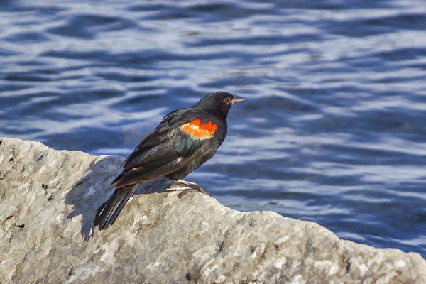 Digital Art - Red Winged Blackbird by Photographic Art by Russel Ray Photos