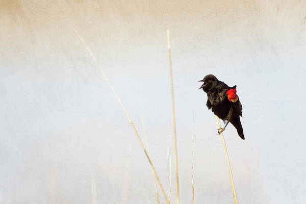 Red-winged Blackbird Wall Art - Photograph - Red-winged Blackbird by Susangaryphotography