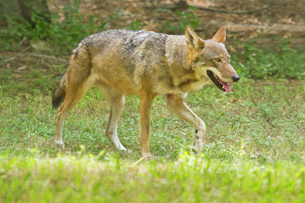 Red Wolf Photograph - Red Wolf Canis Rufus In Captivity by Danita Delimont