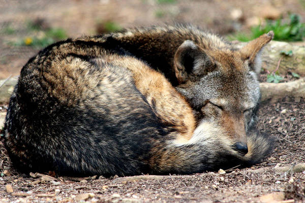 Service Dog Photograph - Red Wolf Napping by Kathy  White