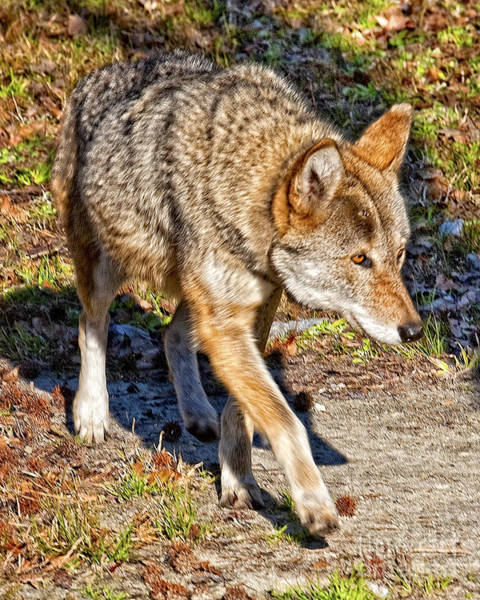 Photograph - Red Wolf by Ronald Lutz