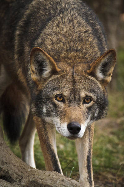 Photograph - Red Wolf Stalking by Wes and Dotty Weber