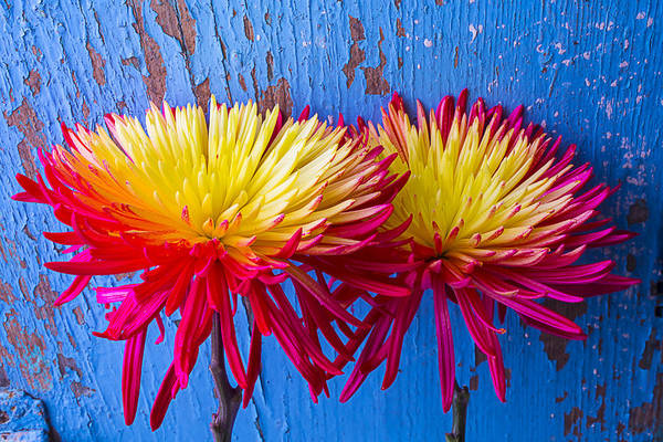 Paint Chips Photograph - Red Yellow Mums Against Blue Wall by Garry Gay