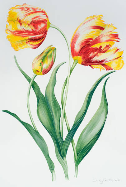 Tulip Bloom Painting - Red Yellow Parrot Tulip Group by Sally Crosthwaite