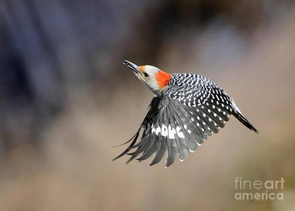 Bird Watcher Photograph - Redbelly Woodpecker Flight by Nava Thompson