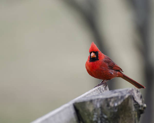 Photograph - Redbird by Heather Applegate