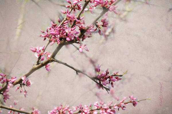 Photograph - Redbud Blossoms by Paulette B Wright