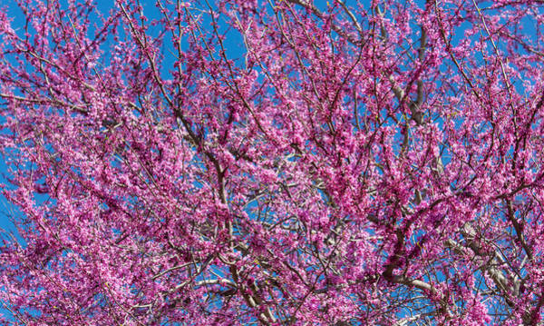 Photograph - Redbud Tree With Dense Blossoms by Steven Schwartzman
