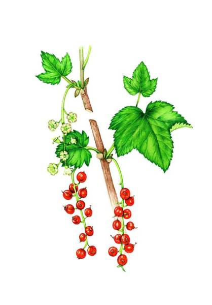 Wall Art - Photograph - Redcurrant (ribes Rubrum) Flowers And Fruit by Lizzie Harper/science Photo Library