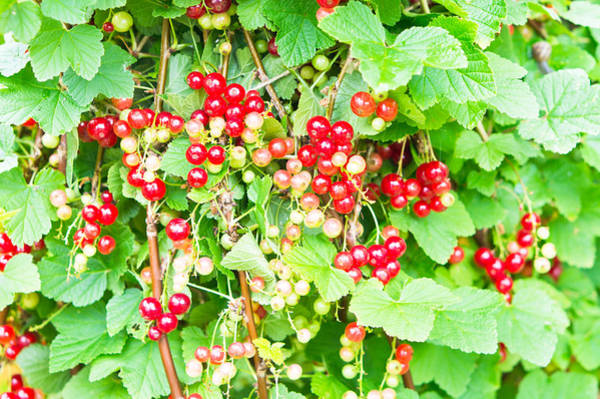Green Berry Photograph - Redcurrants by Tom Gowanlock