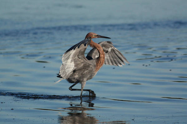 Photograph - Reddish Egret At Fort Desoto by Jean Clark