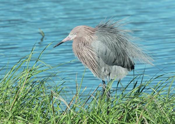 Birds Of Texas Photograph - Reddish Egret by Bob Gibbons/science Photo Library
