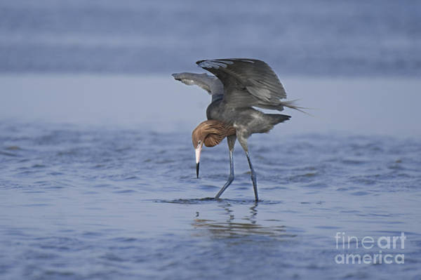 Photograph - Reddish Egret Fishing Texas by Dave Welling