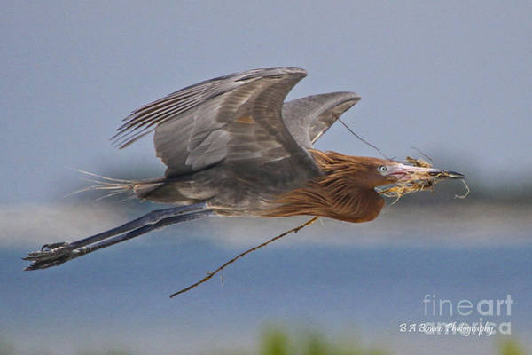 Photograph - Reddish Egret Nest Building by Barbara Bowen