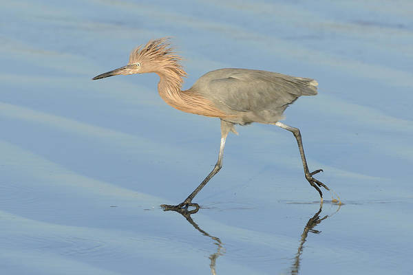Photograph - Reddish Egret Running by Bradford Martin