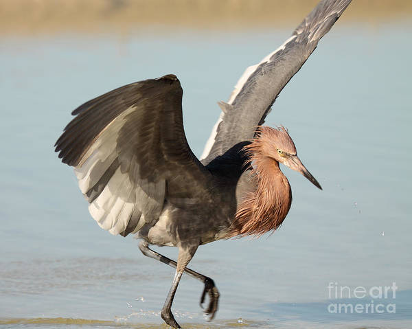 Wall Art - Photograph - Reddish Egret Spreading Wings To Strike by Max Allen