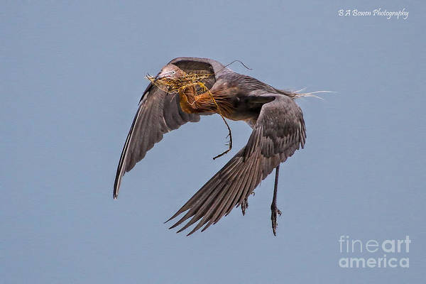 Photograph - Reddish Egret With Nest Building by Barbara Bowen