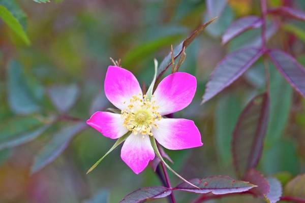 Eudicot Wall Art - Photograph - Redleaf Rose (rosa Glauca) by Dan Sams