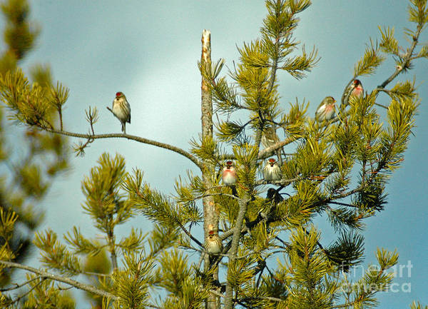 Photograph - 914a Redpolls by NightVisions