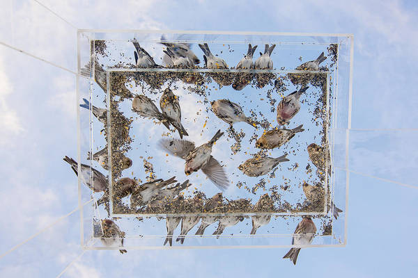 Crossbill Photograph - Redpols And Blue Skies by Tim Grams