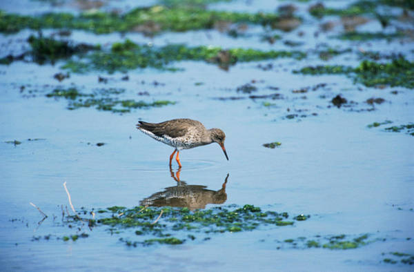 Wall Art - Photograph - Redshank by Leslie J Borg/science Photo Library