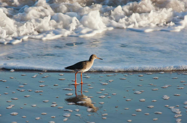 High Tide Photograph - Redshank Tringa Totanus by John Short / Design Pics