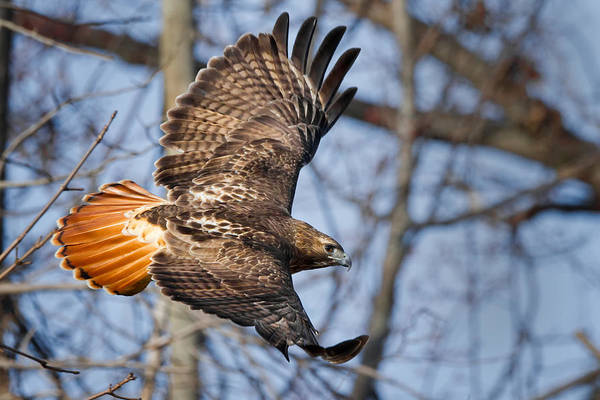 In Flight Photograph - Redtail Hawk by Bill Wakeley