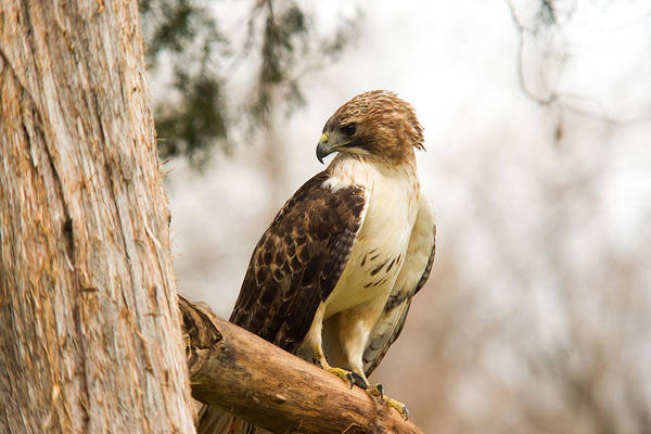 Falconiformes Photograph - Redtailed Hawk 21 by Douglas Barnett