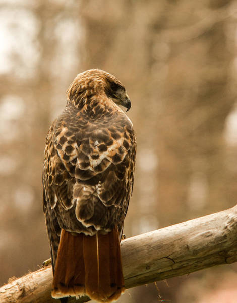 Falconiformes Photograph - Redtailed Hawk 23 by Douglas Barnett