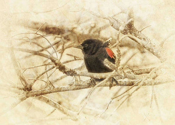 Red-winged Blackbird Wall Art - Photograph - Redwing In The Wind by Susan Capuano