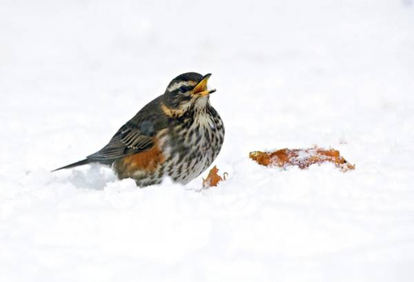 Wall Art - Photograph - Redwing by John Devries/science Photo Library