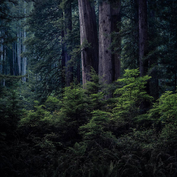 Photograph - Redwood Bunch by Alexander Kunz