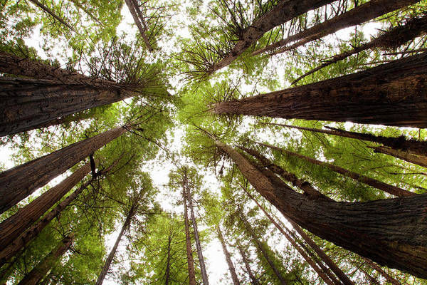 Photograph - Redwood Forest, Humboldt State Park, Ca by Kristin Piljay