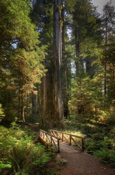 Redwood Forest On A Perfect Spring Day Art Print