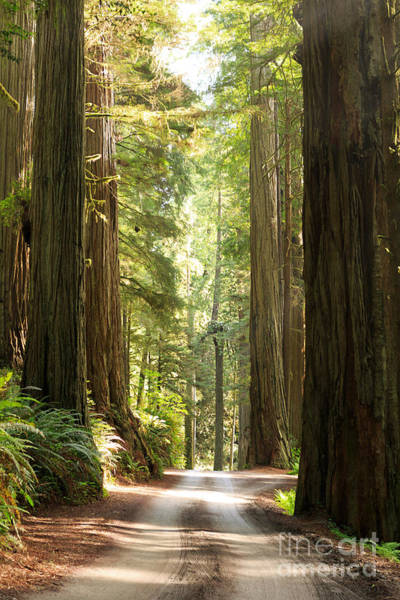 Photograph - Redwood Morning by Beve Brown-Clark Photography