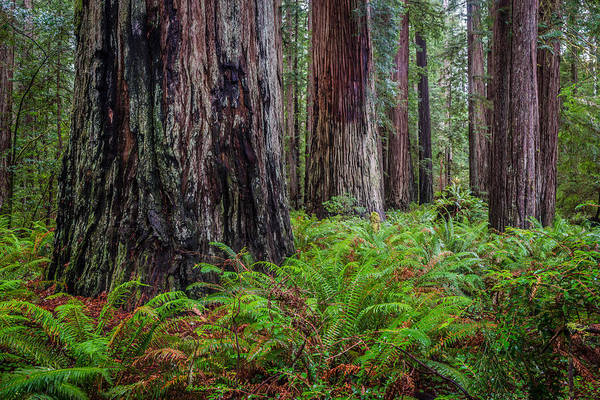 Redwood Sentinels Art Print by Mike  Walker