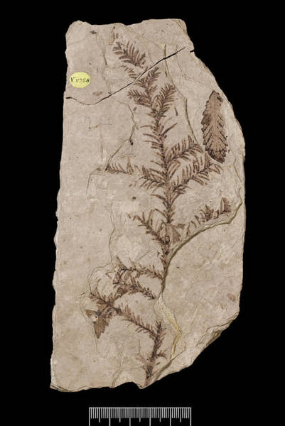 North London Wall Art - Photograph - Redwood Tree (sequoia Affinis) Fossil by Natural History Museum, London/science Photo Library