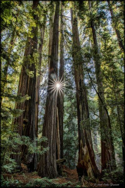 Photograph - Redwoods by Erika Fawcett