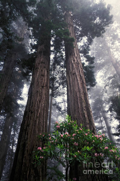 Photograph - Redwoods by Ron Sanford