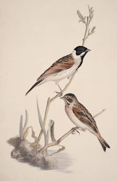 Wall Art - Photograph - Reed Buntings, 19th Century Artwork by Science Photo Library
