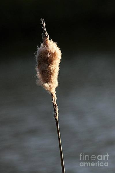 Photograph - Reed In The Sunset by Jeremy Hayden