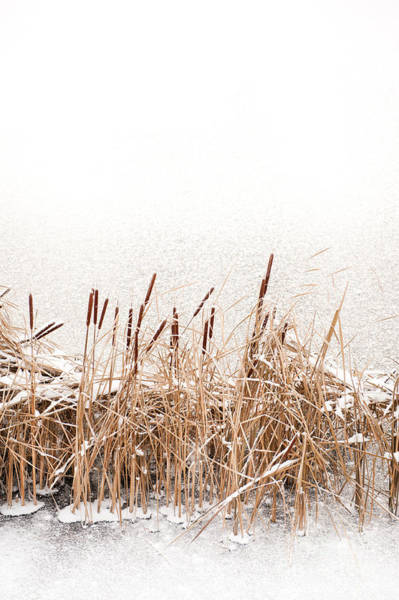 Bulrush Wall Art - Photograph - Snow On Typha Reeds And Frozen Water  by Arletta Cwalina