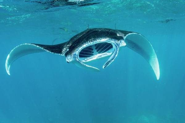 Manta Rays Photograph - Reef Manta Ray by Christopher Swann/science Photo Library