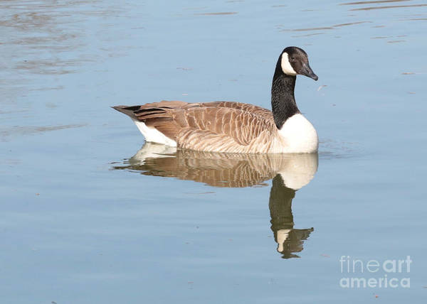Photograph - Reflecting Canadian Goose by Carol Groenen