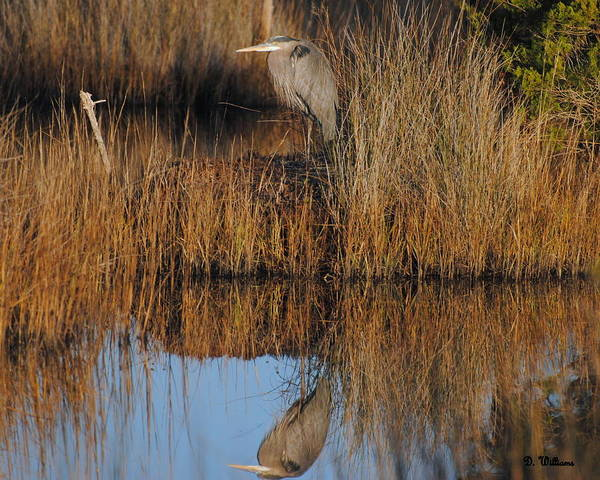 Photograph - Reflection Of A Great Blue Heron  by Dan Williams