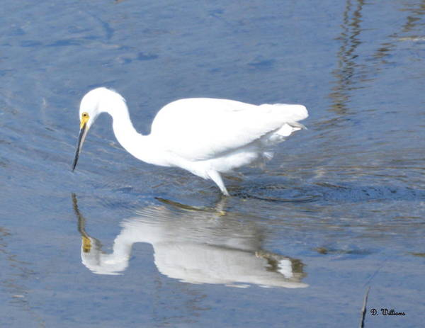 Photograph - Reflection Of A Snowy Egret by Dan Williams