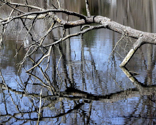 Photograph - Reflection Tree by Bob Slitzan