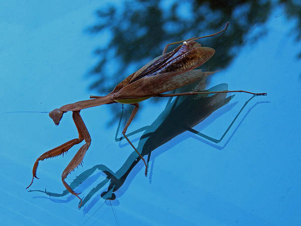 Photograph - Reflections Of A Mantis by Jennifer Robin