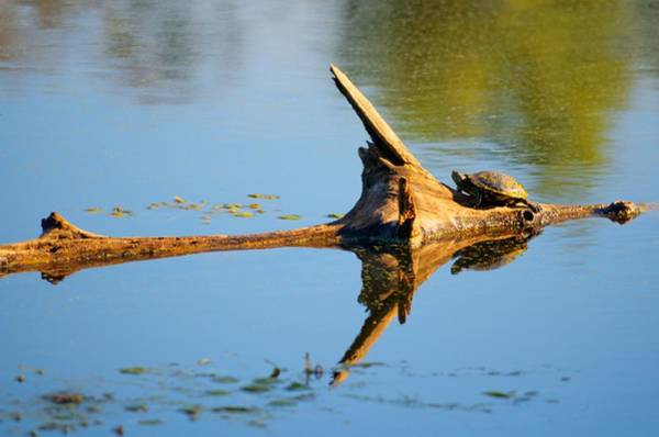 Brazos Bend State Park Wall Art - Photograph - Reflections Of Tortuga by David Morefield